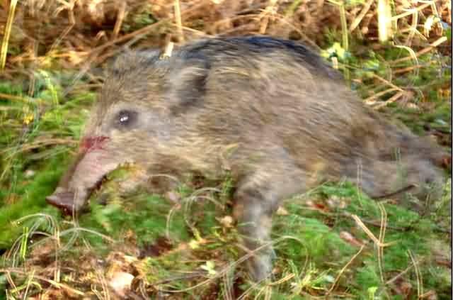 erlegte wildschweine in mittelfranken